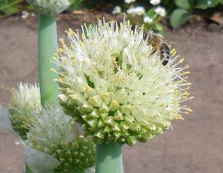 10 июня, цветущий лук привлекает много насекомых, в том числе и энтомофагов