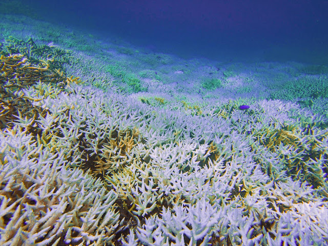 Marine heatwaves a bigger threat to coral reefs than previously thought, scientists find