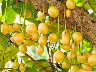 Burmese grape fruit images wallpaper
