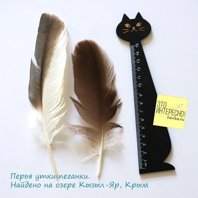 перо утки пеганки, Крым