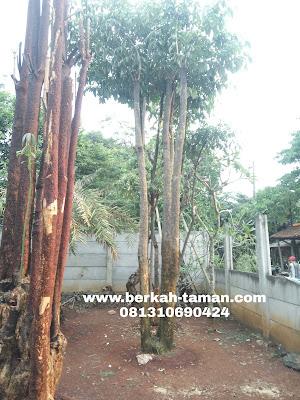pohon pulay murah