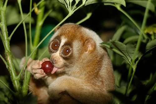 GOD MADE THIS THING: Slow Loris