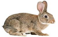 Conejo de Florida o Conejo Castellano
