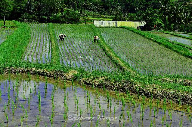 Masa tanam padi di Jatiluwih Rice Terrace Bali