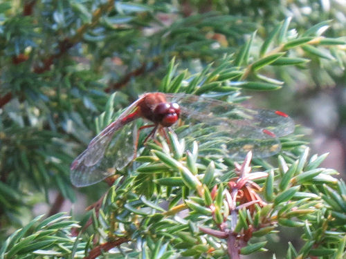 Yellow-legged meadowhawk dragonfly