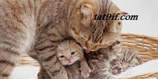 لماذا تأكل القطة اولادها .
