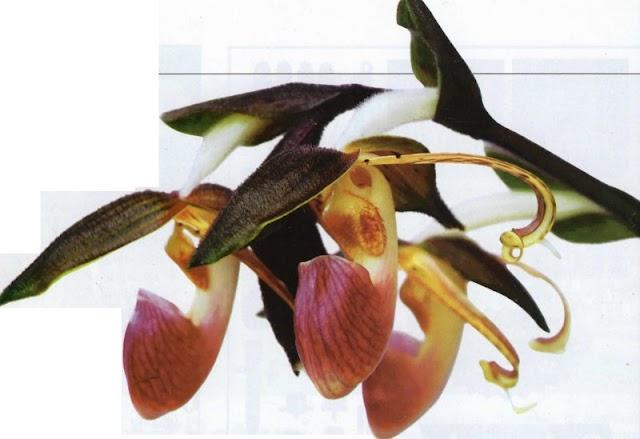 Varietas Bunga Anggrek Sepatu Yang Paling Digemari Pehobiis