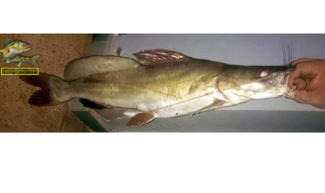 سمك البياض النيلى