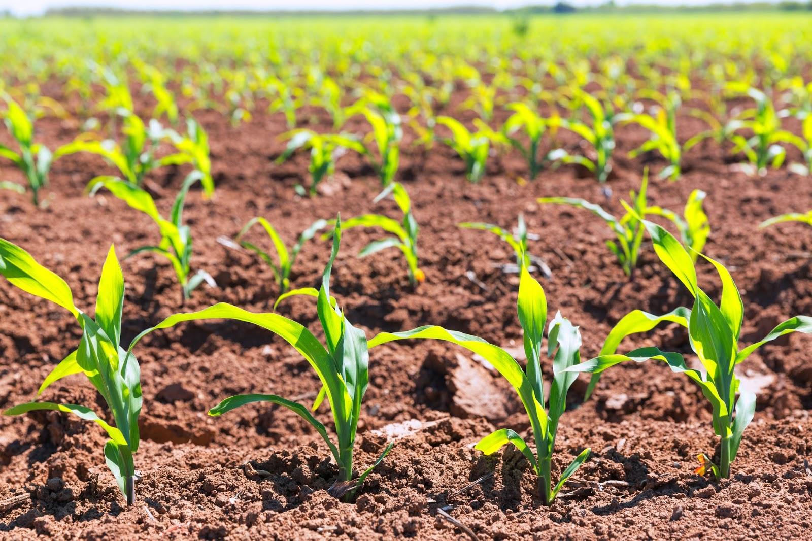 Sab as que solo un 12 del suelo de la tierra es apto for Que son cultivos asociados