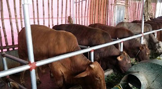 Cung cấp bò giống khu vực miền bắc