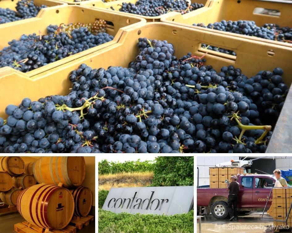 BODEGA CONTADOR リオハのコンタドールワイナリーの収穫時の様子