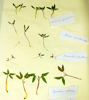 herbario, plántulas