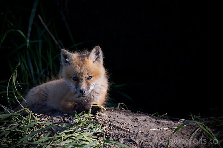 Fox Kit Posing on Mound
