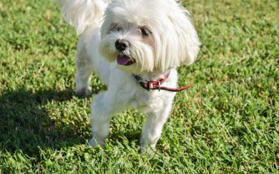 paseo del perro maltes