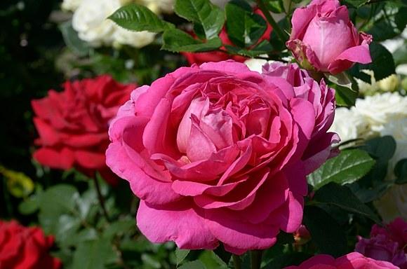 Lady of Megginch сорт розы фото купить саженцы Минск