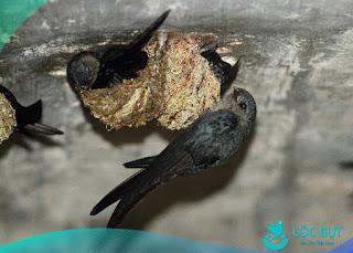 Chim yến làm tổ trên đá.