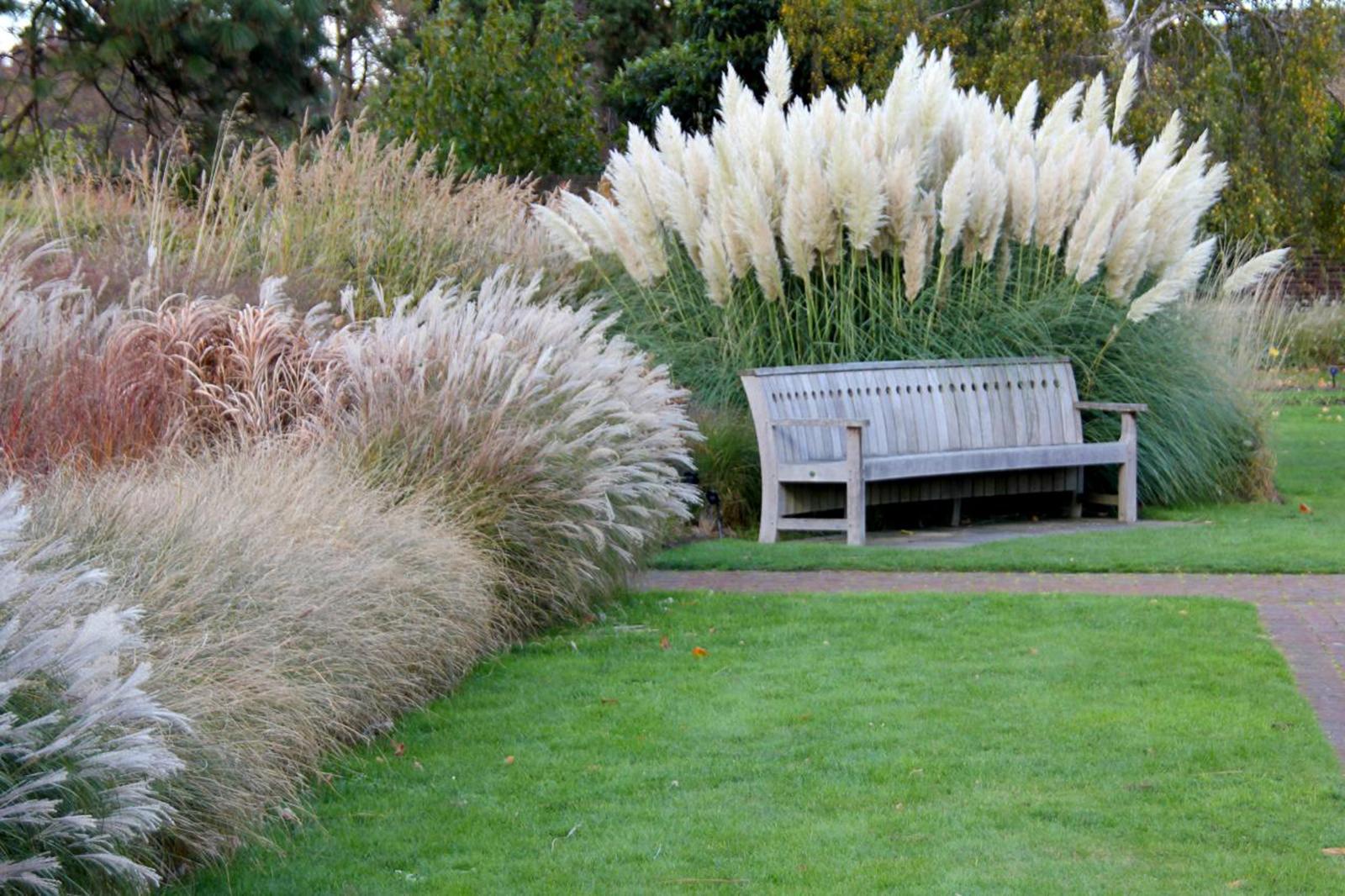Pokok Pampas Grass
