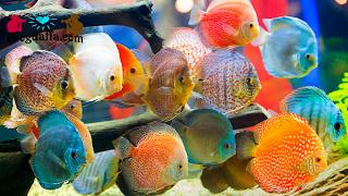 Jenis Jenis Ikan Discus Terpopuler
