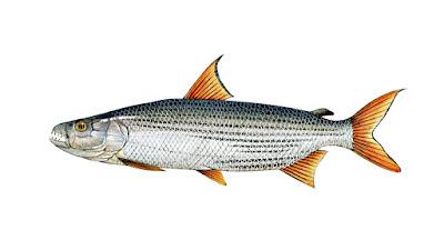 Dangerous Fish, Tigerfish
