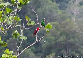 Eclectus Parrot (Eclectus roratus) in rainforest of West Papua