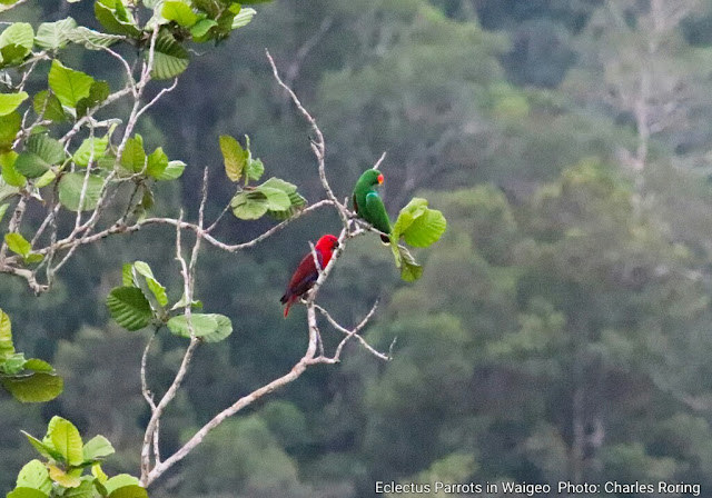 Eclectus Parrot (Eclectus roratus) in rainforest of West Papua