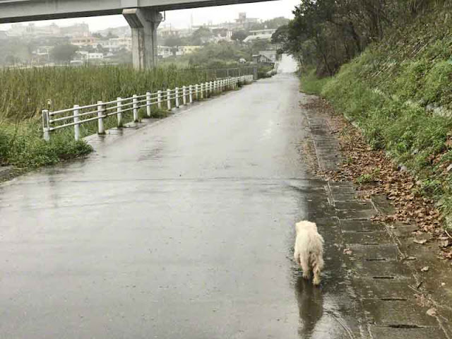 dog, Okinawa, rain, walking, Wordless Wednesday