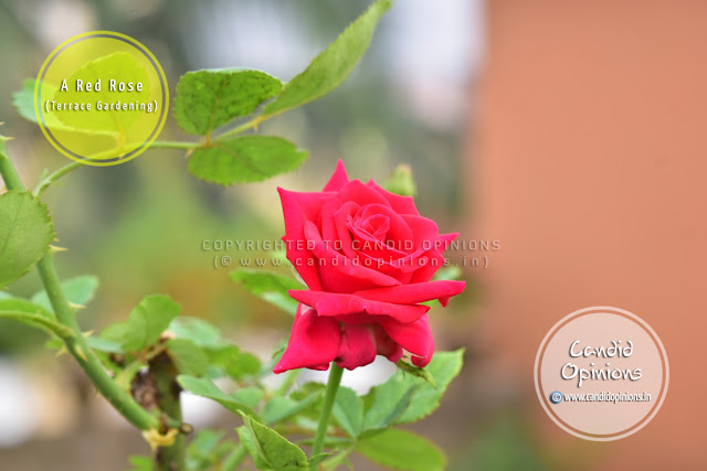 Photo Story 14: A Red Rose On My Terrace Garden