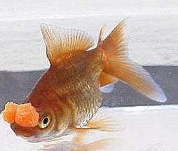 adalah salah satu ikan mas glamor lucu dan unik Kabar Terbaru- IKAN MAS KOKI POMPOM