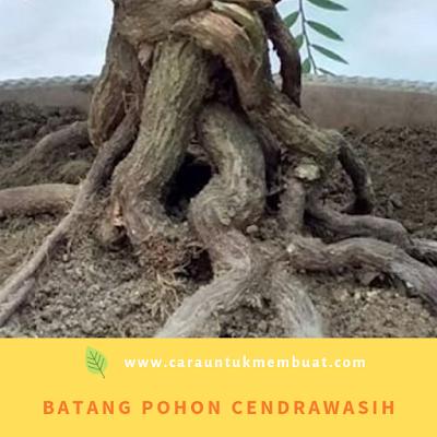 Batang Pohon Cendrawasih