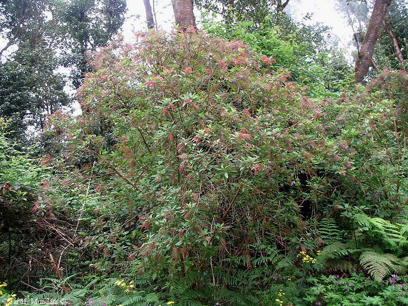 Sangrando en verde gesnouinia arborea la canaria m s coqueta for El jardin canario
