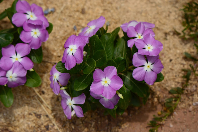 catharanthus roseus, madagascar periwinkle, garden bloggers bloom day, small sunny garden, amy myers, photography, desert garden, vinca