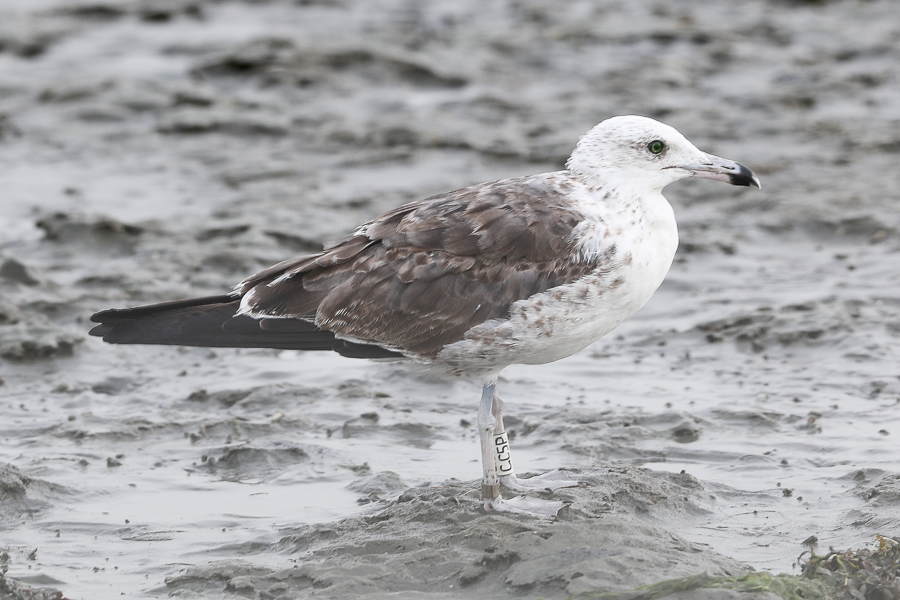 Lesser Black-backed Gull (Baltic Gull) Larus fuscus fuscus