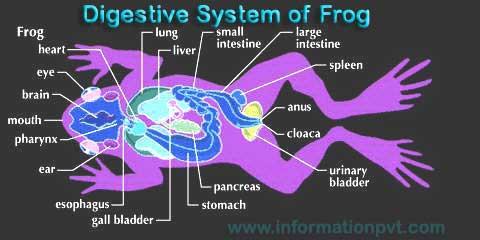 Digestive System of Frog diagram