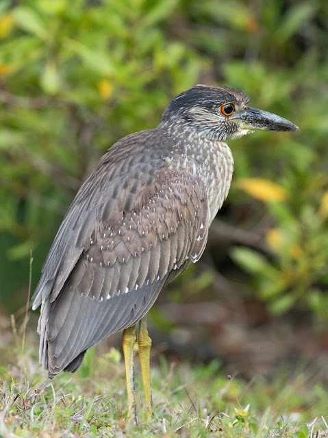 Yellow-crowned Night Heron - Black Point Park, Florida