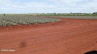 Weed-free pineapple fields - Dole Plantation, Oahu, HI