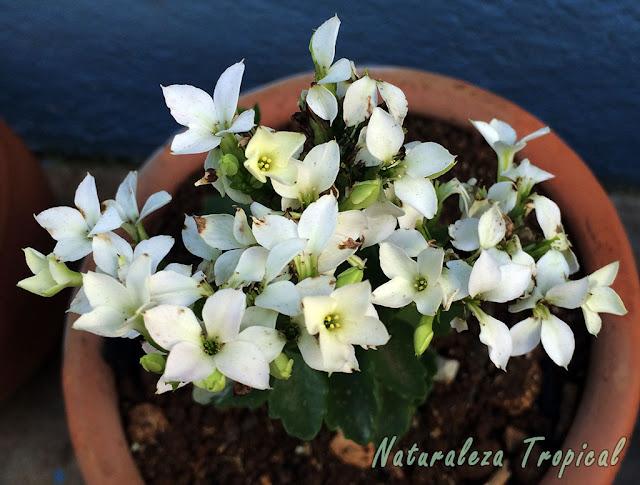 Flores blancas simples del Kalanchoe blossfeldiana