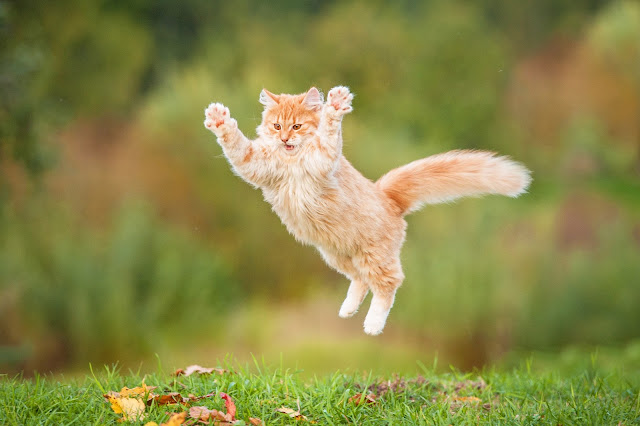 Orange cat Jumping, via Adobe Stock