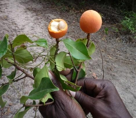 Toll, fruit, madd, sauvage, savane, nature, Casamance, commerce, exportation, marché, confiture, jus, vitamine, LEUKSENEGAL, Dakar, Sénégal, Afrique