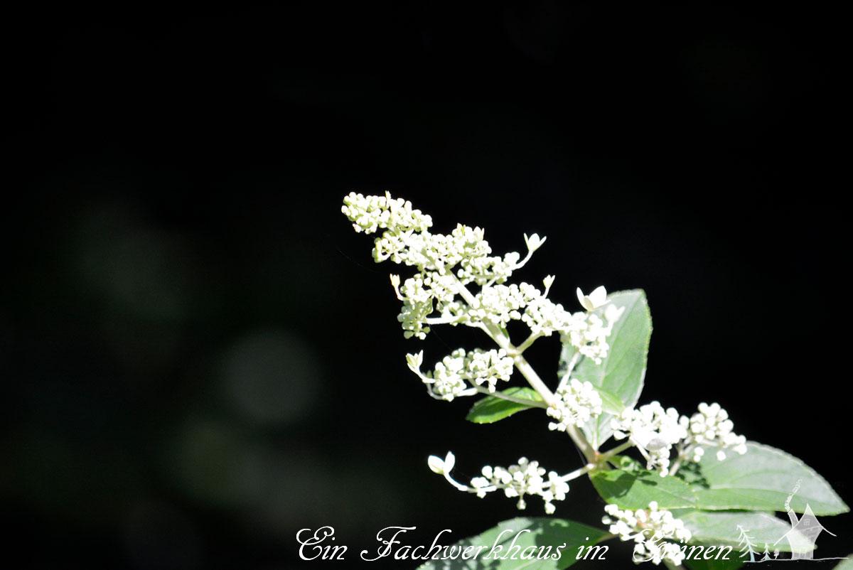 Rispenhortensie, Hydrangea paniculata