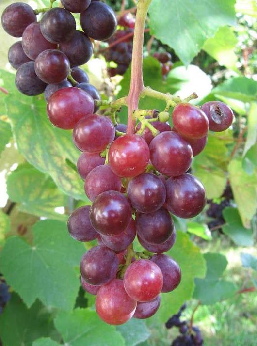 Tanaman Pohon Buah Anggur Merah Ide Jawa Barat