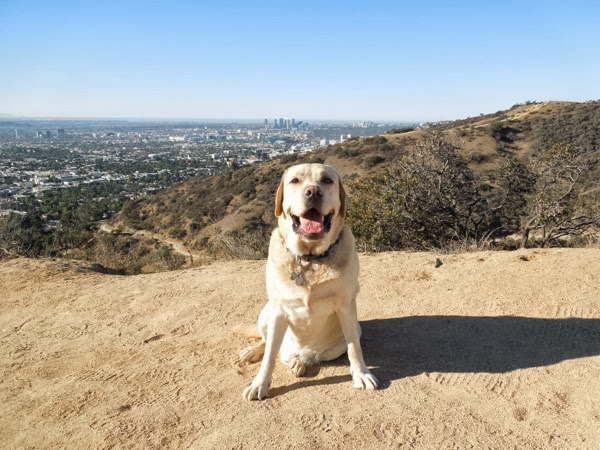 Labrador Cooper Runyon Canyon November heatwave