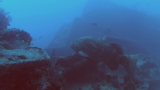 Goliath Grouper on the Blue Fire Wreck