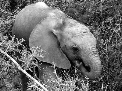 elephant, baby elephant, Kruger National Park, South Africa