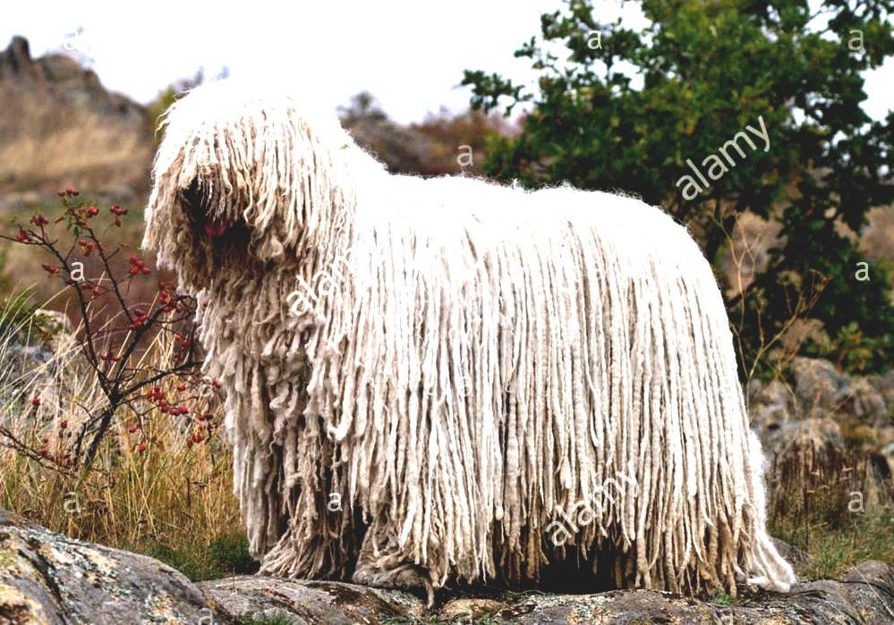 My Reference Komondor Hungarian Shepherd Dog
