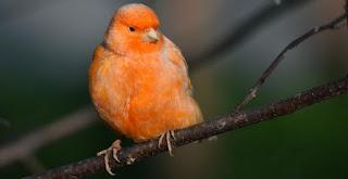 Karakter dan Jenis-Jenis Burung Kenari, Pemula Jangan Salah Beli