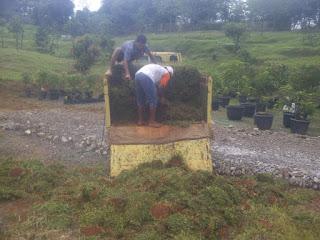 Jual Rumput Gajah Pacitan di Bogor