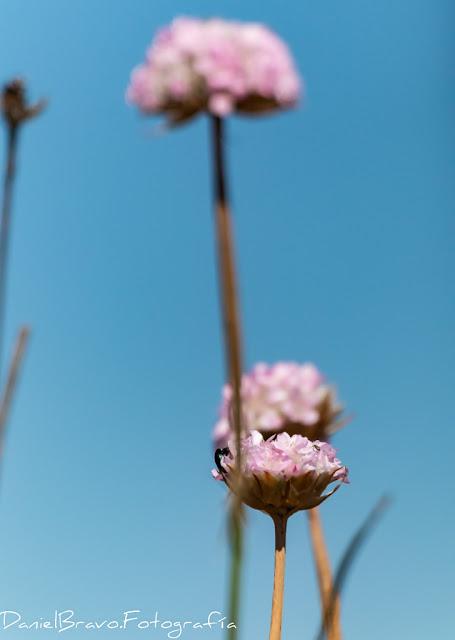 Detalle de tres clavellinas rosas en el Parque Nacional de Doñana.