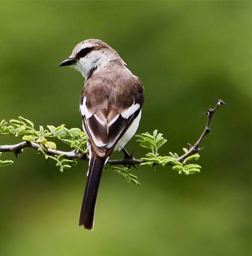 Indian birds - Picture of White-bellied minivet - Pericrocotus erythropygius