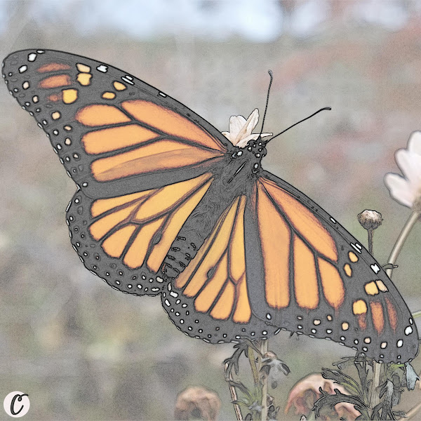 Western Monarch Butterfly 🦋