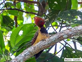 aves do Brasil, pica-pau-do-parnaíba, celeus obrieni, aves do cerrado, birdwatching, pica pau da taboca, pica pau, birding, birds of the savanna, ornitologia, birds, pássaros, aves, observação de aves.